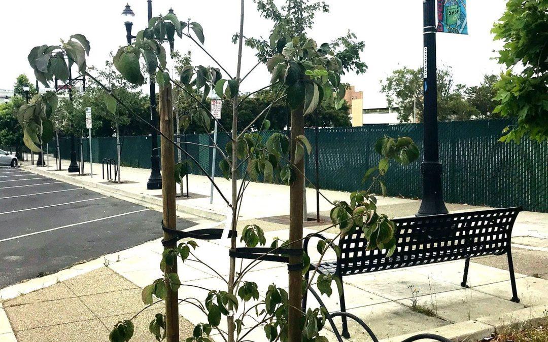 More Trees on Macdonald Avenue
